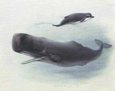 """Sperm whale and Bottlenose whale"" by Archibald Thorburn. Licensed under Public Domain via Wikimedia Commons"